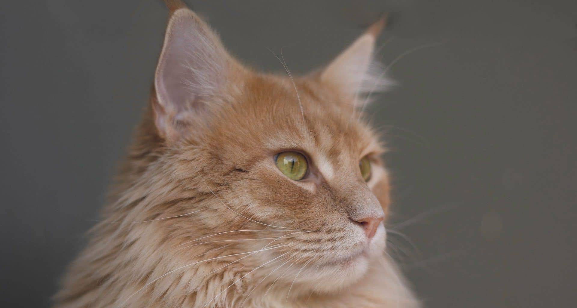 50 of the Most Popular Cat Breeds in the World (Infographic)