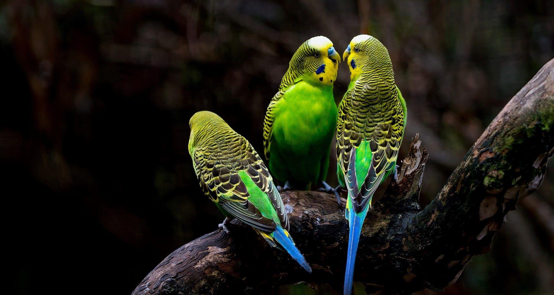 Best Parakeet Food - Featured Image