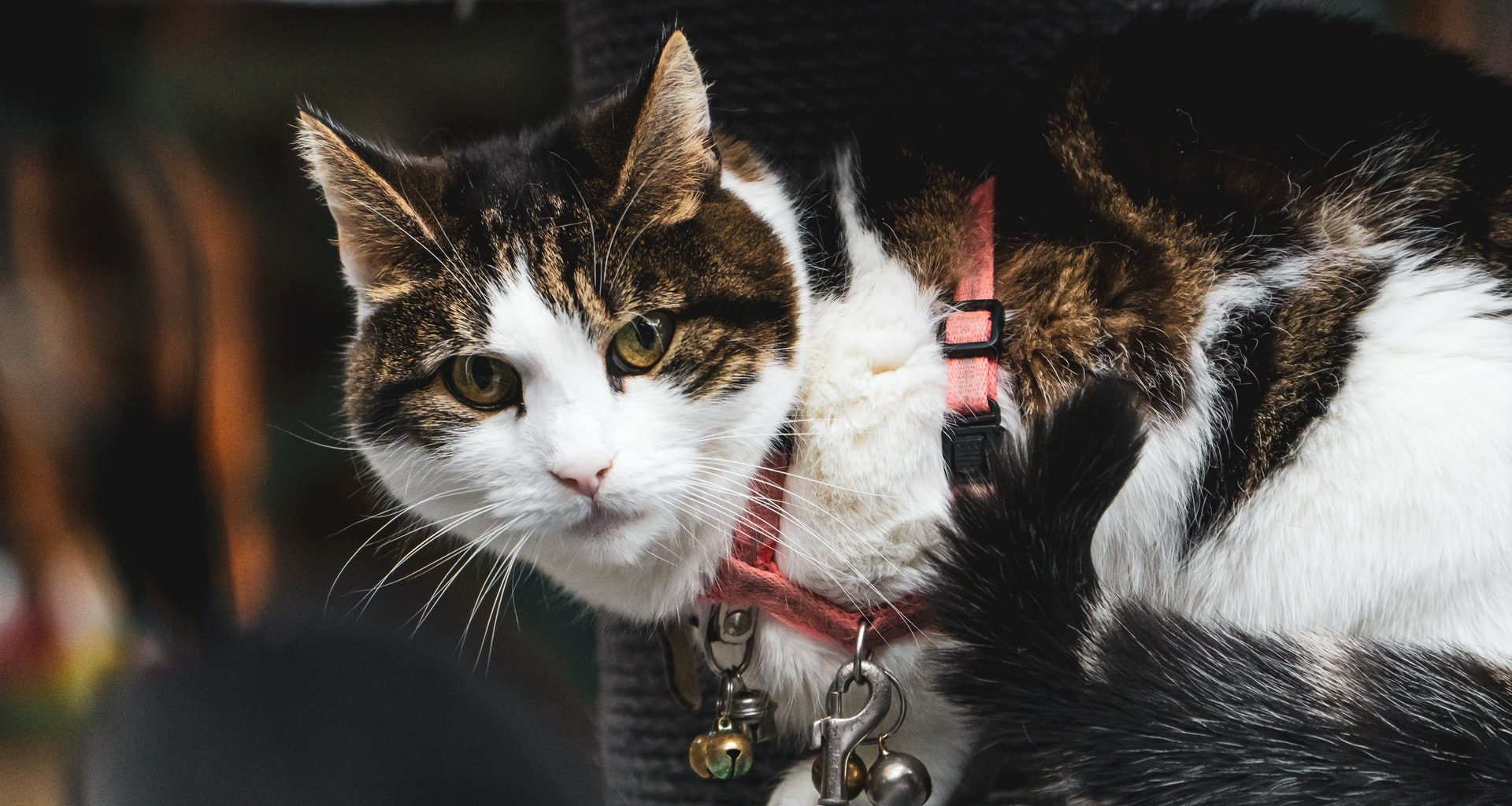 Best Cat Harness - Featured Image