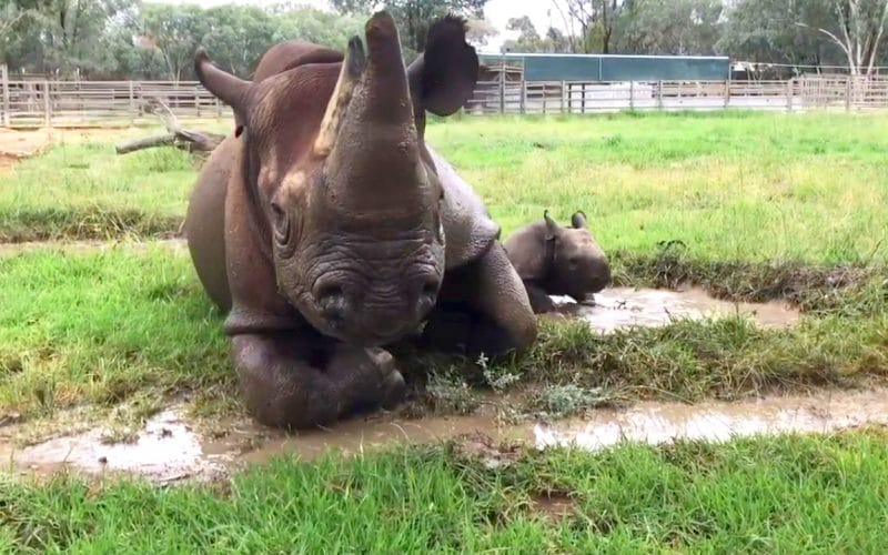 Black Rhino Born at Dubbo Zoo