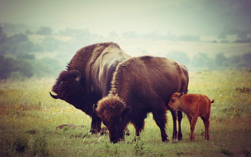 First Bison Calves Born on Wolakota Buffalo Range