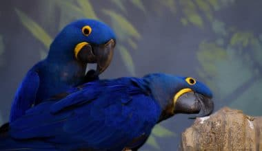 The Controversial Return of the Extinct Little Blue Macaw