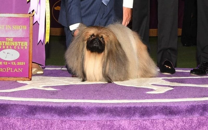 Wasabi wins Best in Show at the 145th Annual Westminster Kennel Club Dog Show