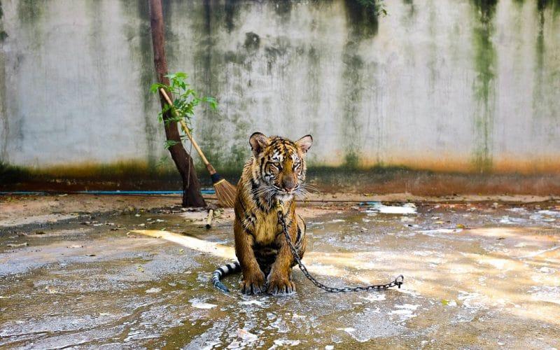 Social Media Normalizes Exotic Animal Ownership
