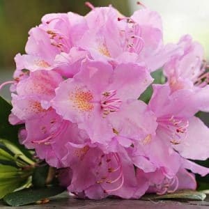 Are azaleas poisonous to dogs