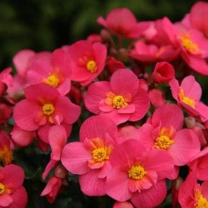 Are begonias poisonous to dogs