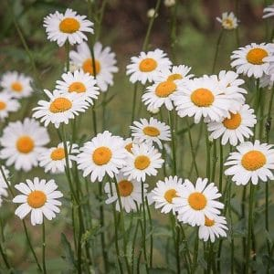 Are daisies toxic to cat