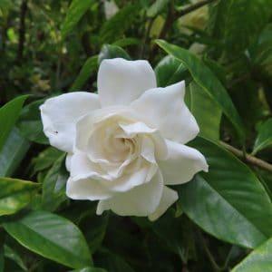 Are gardenias poisonous to dogs