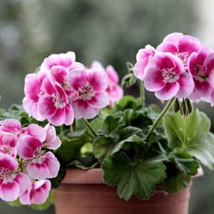 Are geraniums poisonous to cats