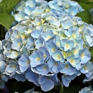 Are hydrangeas poisonous to dogs