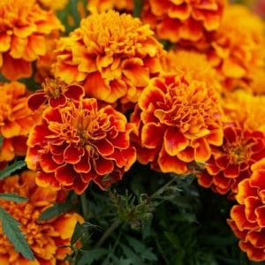 Are marigolds poisonous to dogs