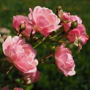 Are roses toxic to dogs
