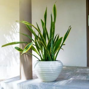 Are snake plants toxic to dogs