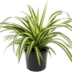 Are spider plants poisonous to dogs