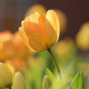 Are tulips toxic to dogs