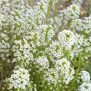 Is baby's breath poisonous to cats