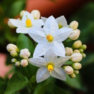 Is jasmine poisonous to dogs