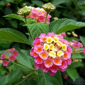 Is lantana poisonous to dogs