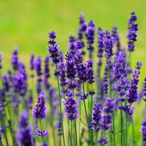 Is lavender toxic to dogs