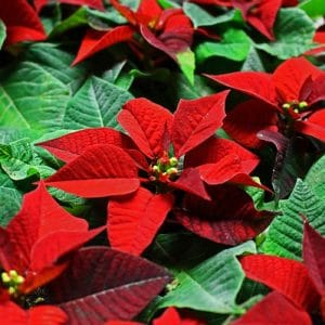 Is poinsettia poisonous to dogs