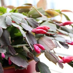 Is the Christmas cactus poisonous to dogs