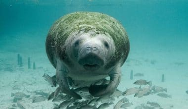 Record of 841 Manatee Deaths in Florida in 2021