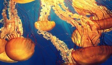 Thousands of Nettle Jellyfish Swarm Rhode Island Coast
