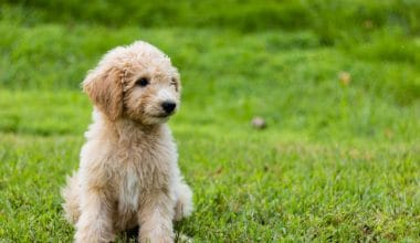 What is a Goldendoodle - Featured Image