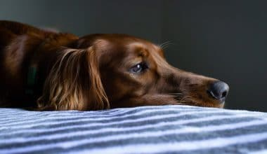 Separation Anxiety Affects Pets As Owners Return to Work