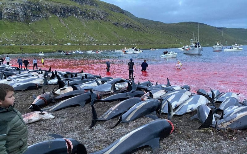 More Than 1.400 Dolphins Dead in the Faroe Islands