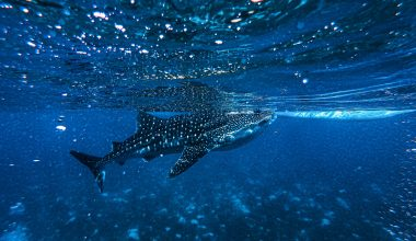 Whale Shark Facts - Featuring Image